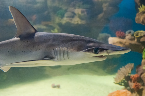 Greater Cleveland Aquarium Shark Tank