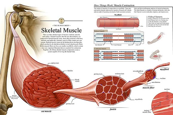 Rebecca Konte's skeletal muscle  piece depicts the major features of skeletal muscle