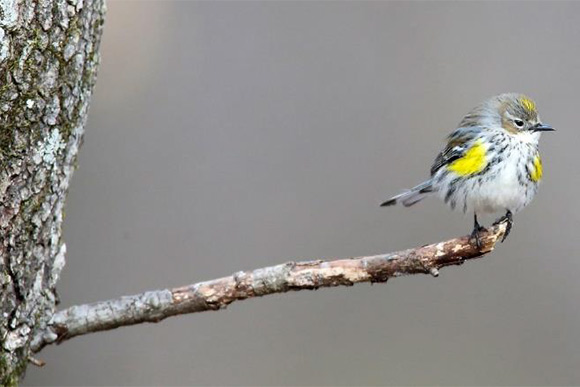 The Kirtland Warbler depends on Jack Pine trees for nesting and habitat