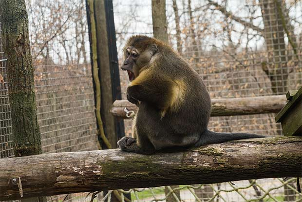 Golden Bellied Mangabey