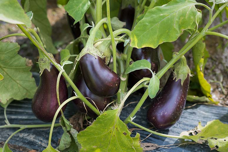 Eggplant still growing at Ohio City Farm