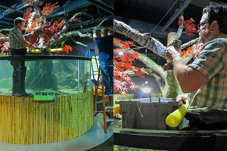 Director of artistic production and operations, Bruce Orendorf, working on the the Japanese maple in the cylindrical fish tank at the Asia gallery