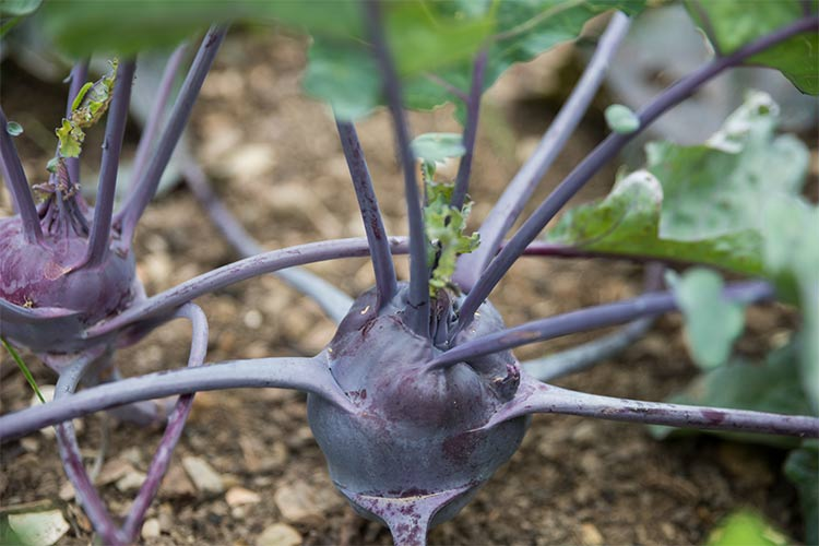 Kohlrabi from Orchard Grove