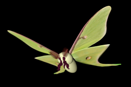 3d rendering of a luna moth by educator Tom Masaveg, which will be an interactive, animated model for an educational augmented reality program