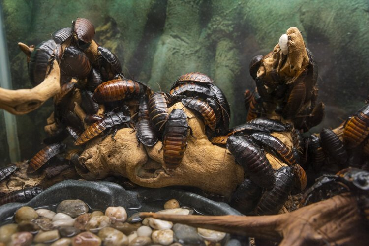 Madagascar hissing cockroaches at the Lake Erie Nature & Science Center.