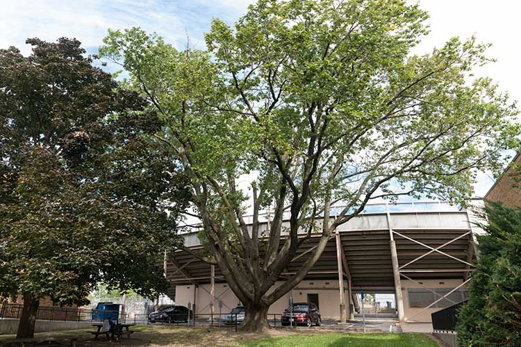 Jesse Owens Tree at James Ford Rhodes High School in Old Brooklyn