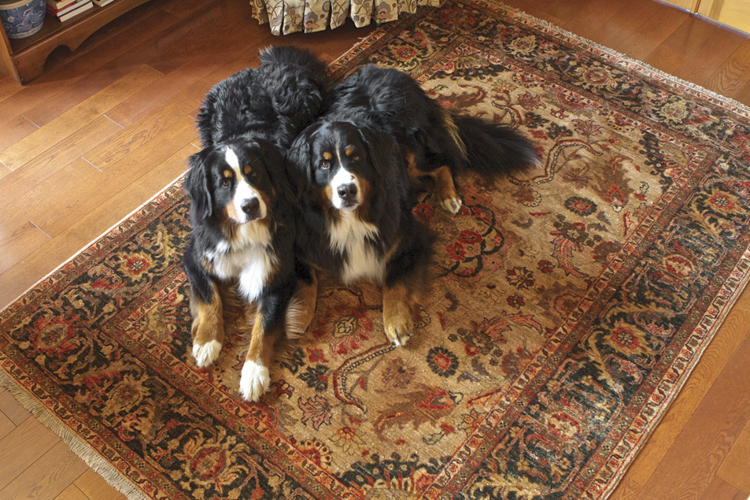 Bunyaad rugs are made with lanolin rich wool and can easily be cleaned of dog hair, muddy paw prints and other messes