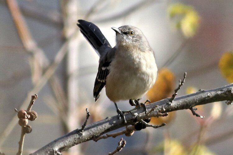 Northern Mockingbird at Scranton Flats