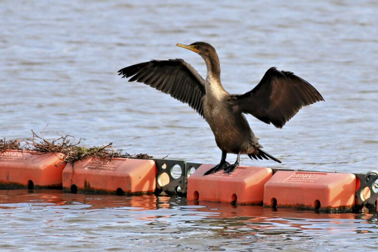 Double-crested Cormorant at Scranton Flats
