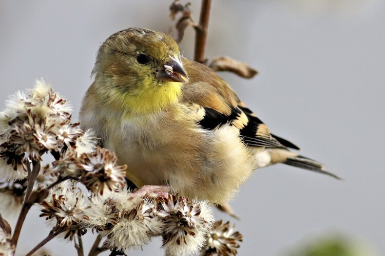 American Goldfinch at Scranton Flats