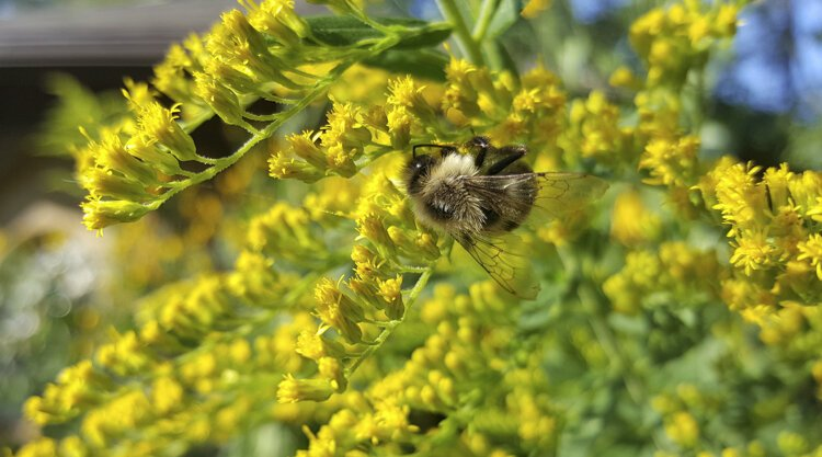 A bee on Goldenrod at Nature Center at Shaker Lakes