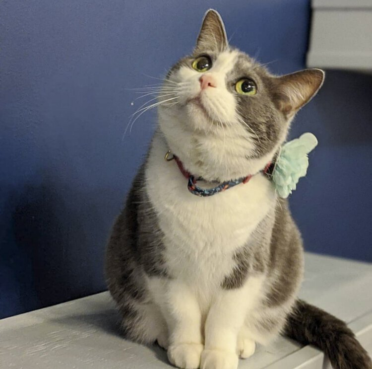 Juju is a 4-year-old cat who is available for adoption.