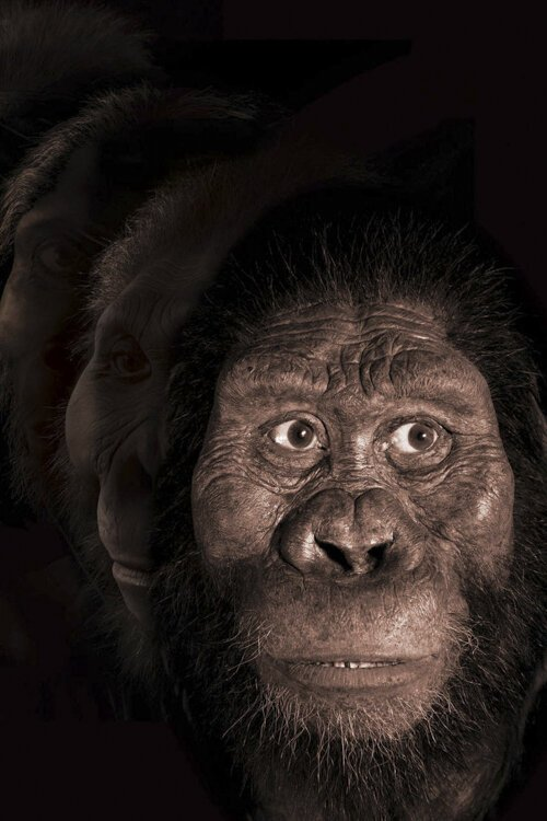 John Gurche developed this possible face to fit the cranium discovered for a human ancestor called MRD.