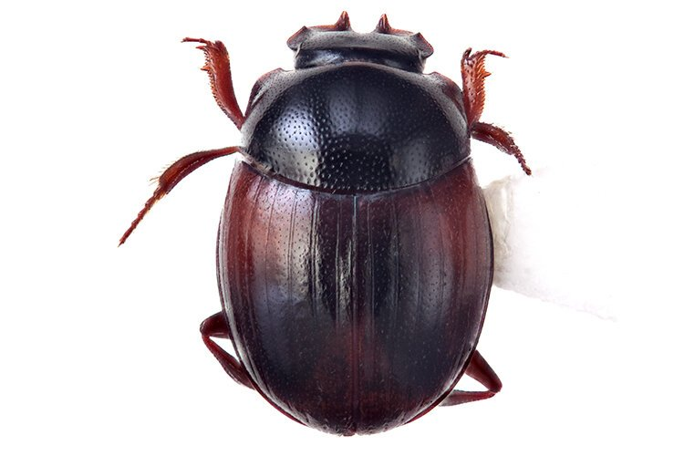 Nicole Gunter of the Cleveland Museum of Natural History shared in the discovery of this species of dung beetle, called Lepanus crenidens.
