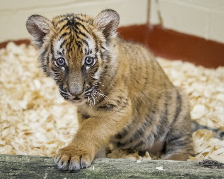Indrah makes three: Malayan tiger cub joins Amur cubs at Metroparks Zoo