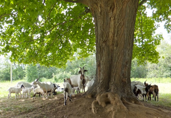 A herd of goats in the Cuyahoga Valley National Park